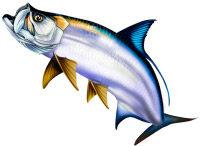 drawing of Tarpon fish